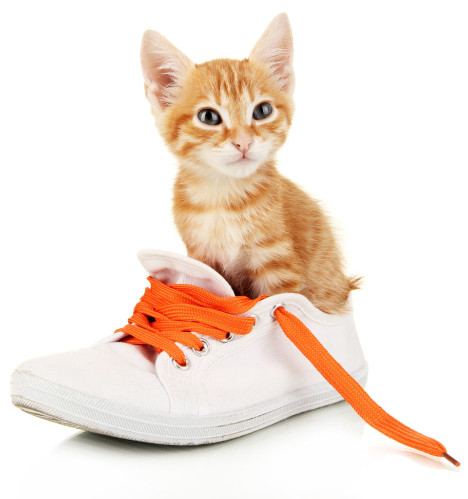 Cat in the shoe colorful orange shoelace 1300 x 1386