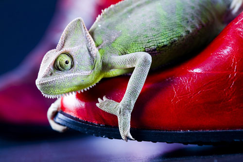 Colorful chameleon on the shoe